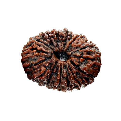 Natural 15 Mukhi Rudraksha Java 15 MM