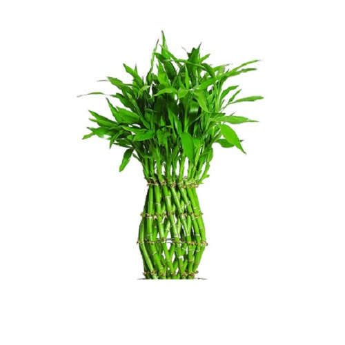 Lucky Feng Shui Bamboo Plant Curved