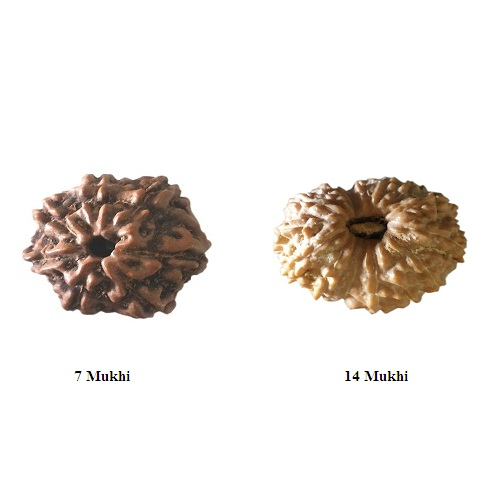 Rudraksha for Aquarius or Kumbh